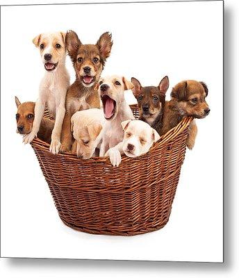 A Basket Of Puppies  Metal Print by Susan Schmitz