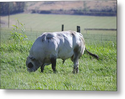 A Big Big Bull  Metal Print by Jeff Swan