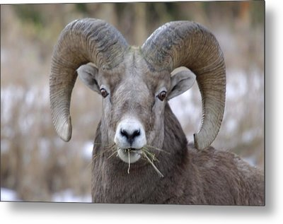 A Big Ram Caught With His Mouth Full Metal Print by Jeff Swan