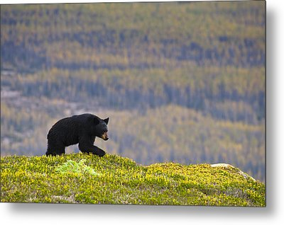 A Black Bear Foraging For Berries Near Metal Print
