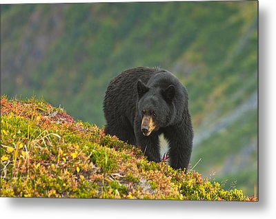A Black Bear Foraging For Berries On A Metal Print