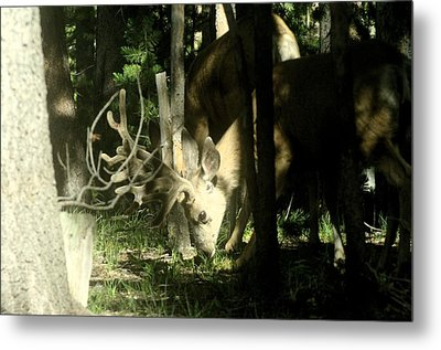 A Buck Deer Grazes Metal Print
