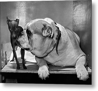 A Bulldog And A Puppy Metal Print by Underwood Archives