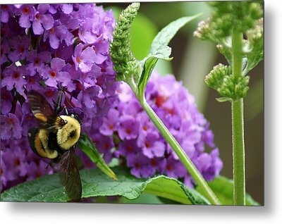A Bumblebee In The Garden Metal Print by Kim Pate
