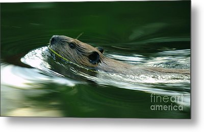 A Busy Beaver  Metal Print by Jeff Swan