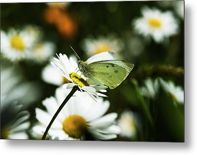A Cabbage White Butterfly Rests Metal Print by Robert L. Potts