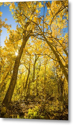A Canopy Of Aspens At Mcgee Creek In The Eastern Sierras Metal Print by Joe Doherty