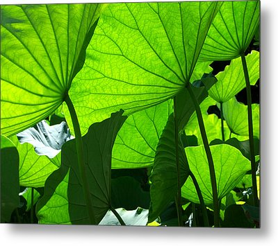 A Canopy Of Lotus Leaves Metal Print by Larry Knipfing