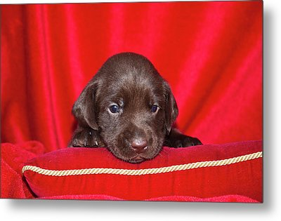 A Chocolate Labrador Retriever Puppy Metal Print by Zandria Muench Beraldo