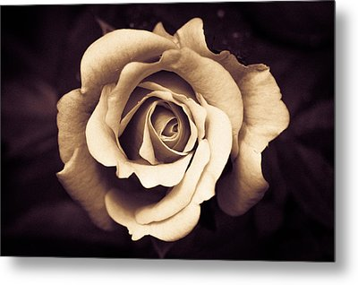 A Chocolate Raspberry Rose Metal Print by Wade Brooks