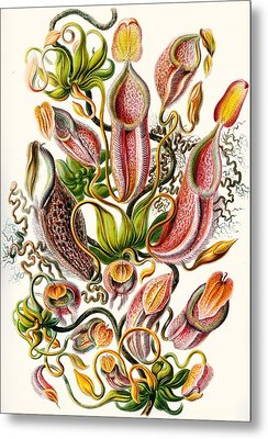 A Collection Of Nepenthaceae Metal Print