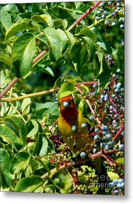 A Day With Mr. Tanager 2 Metal Print by Jacquelyn Roberts
