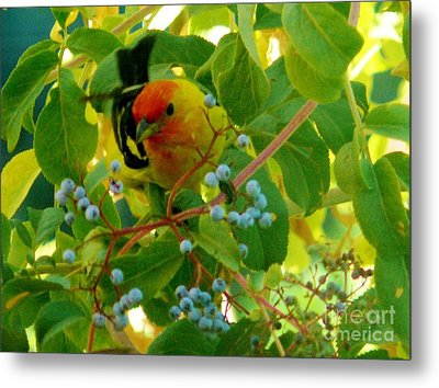 A Day With Mr. Tanager 3 Metal Print by Jacquelyn Roberts