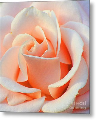 A Delicate Rose Metal Print by Cindy Manero