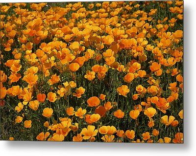 A Field Of Poppies Metal Print by Phyllis Denton