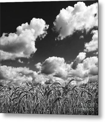 A Field Of Wheat . Limagne. Auvergne. France Metal Print