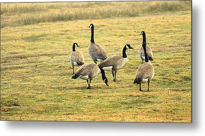 A Flock Of Canada Geese Metal Print by Rima Biswas