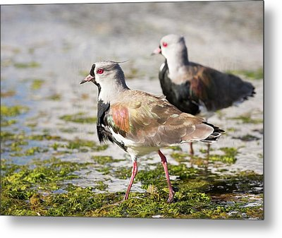 A Flock Of Southern Lapwings Metal Print