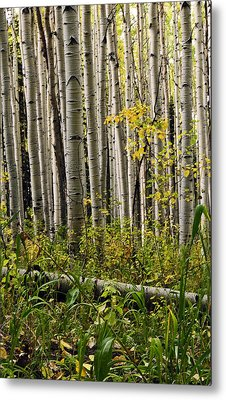 A Forest Of Aspen Metal Print