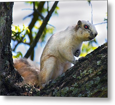 A Fox Squirrel Pauses Metal Print by Betsy Knapp