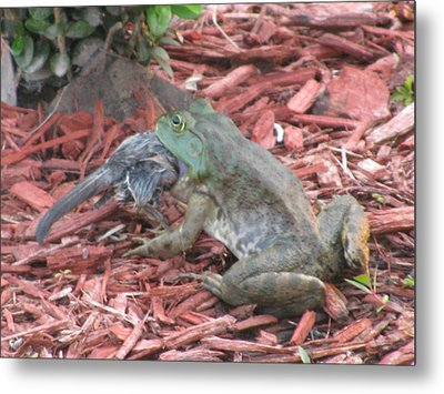 Metal Print featuring the photograph A Gals Gotta Eat _ Frog by Margaret Newcomb