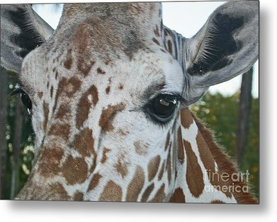 A Giraffe In Close Up Metal Print by Joan McArthur