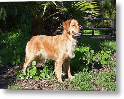 A Golden Retriever Standing In A Park Metal Print by Zandria Muench Beraldo