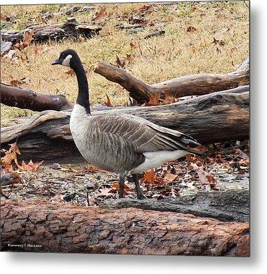 A Goose In Virginia Metal Print