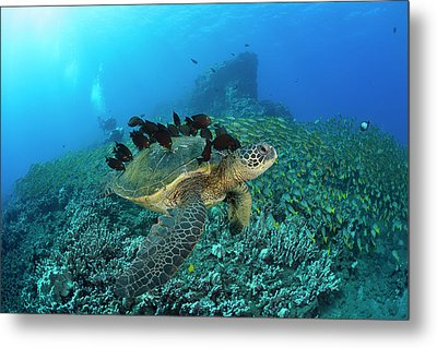 A Green Sea Turtlec  Chelonia Mydas Metal Print by Dave Fleetham