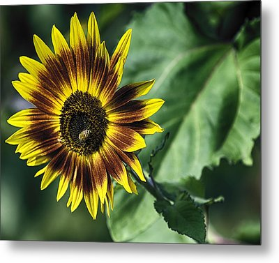 Metal Print featuring the photograph A Growing Sunflower by Gary Neiss