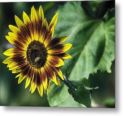 A Growing Sunflower Metal Print by Gary Neiss
