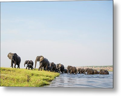 A Herd Of African Elephants Metal Print by Peter Chadwick