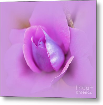 A Hint Of Lavender Rose Metal Print by Judy Palkimas