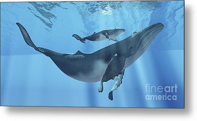 A Humpback Whale Mother And Her Calf Metal Print by Corey Ford
