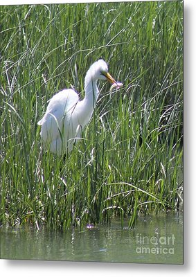 A Hungry Great Egret Metal Print