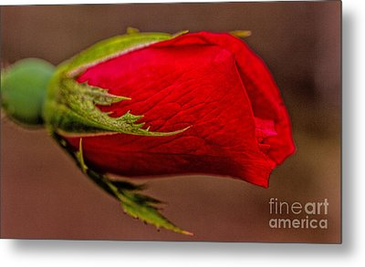 A Knockout Bloom Metal Print by Dave Bosse