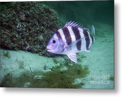 A Large Sheepshead Ruising The Bottom Metal Print by Michael Wood
