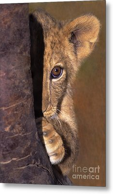 A Lion Cub Plays Hide And Seek Wildlife Rescue Metal Print