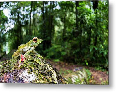 A Malayan Flying Frog Metal Print