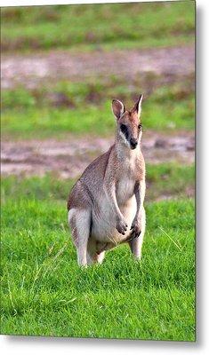 A Male Grey Kangaroos (macropus Metal Print
