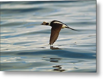 A Male Long-tailed Duck In Winter Metal Print by Brian Guzzetti