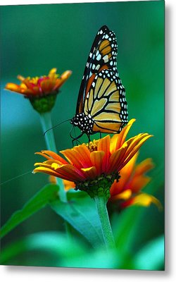 A Monarch II Metal Print