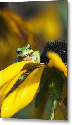 A Pacific Treefrog Looks For Flies Metal Print by Robert L. Potts