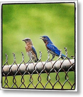 Nesting Bluebirds Metal Print by Heidi Hermes