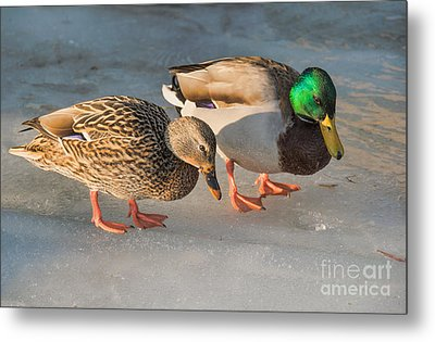 A Pair Of Mallards On Frozen Lake Metal Print by Gerda Grice