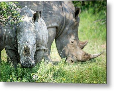 A Pair Of Rhinoceros  Rhinocerotidae Metal Print by Remsberg Inc