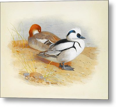 A Pair Of Smew Ducks Metal Print