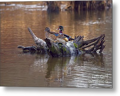A Pair Of Wood Ducks In The Springtime Metal Print by Sharon Talson
