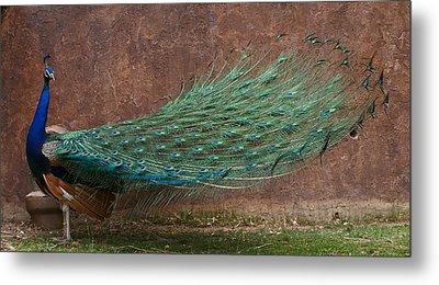 A Peacock Metal Print by Ernie Echols