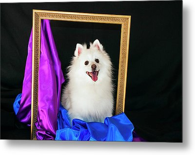 A Picture Of An American Eskimo Dog Metal Print